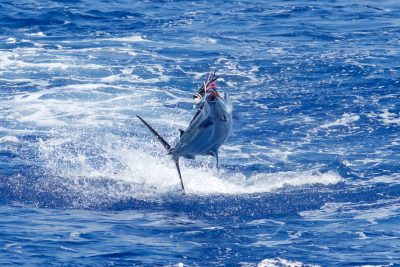 blue marlin fishing in kona