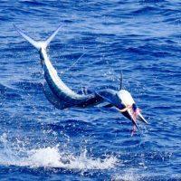 short nose spearfish kona hawaii fishing
