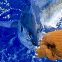 short nose spearfish kona hawaii