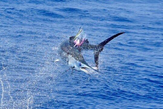 Kona marlin fishing