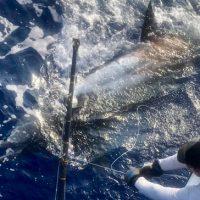 blue marlin kona fishing