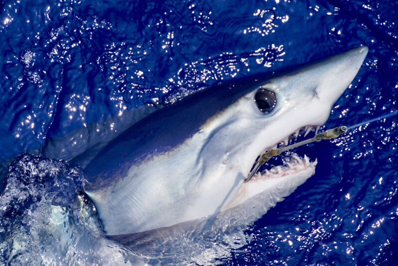 Mako shark Kona Hawaii