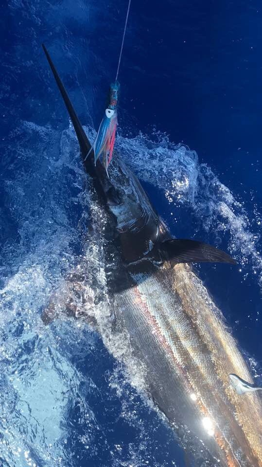 Blue marlin fishing Kona Hawaii