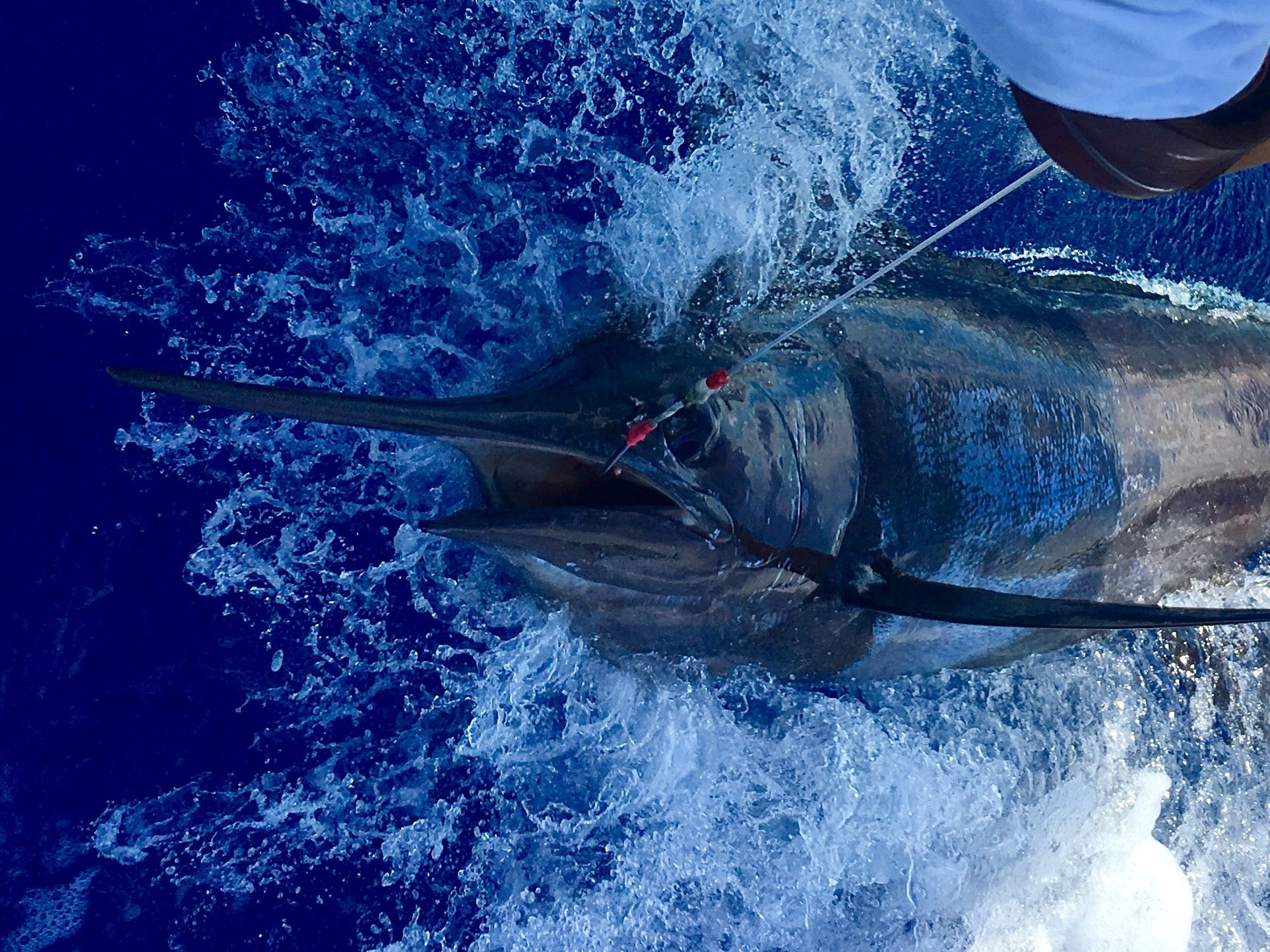 Blue marlin Fishing in Kona Hawaii
