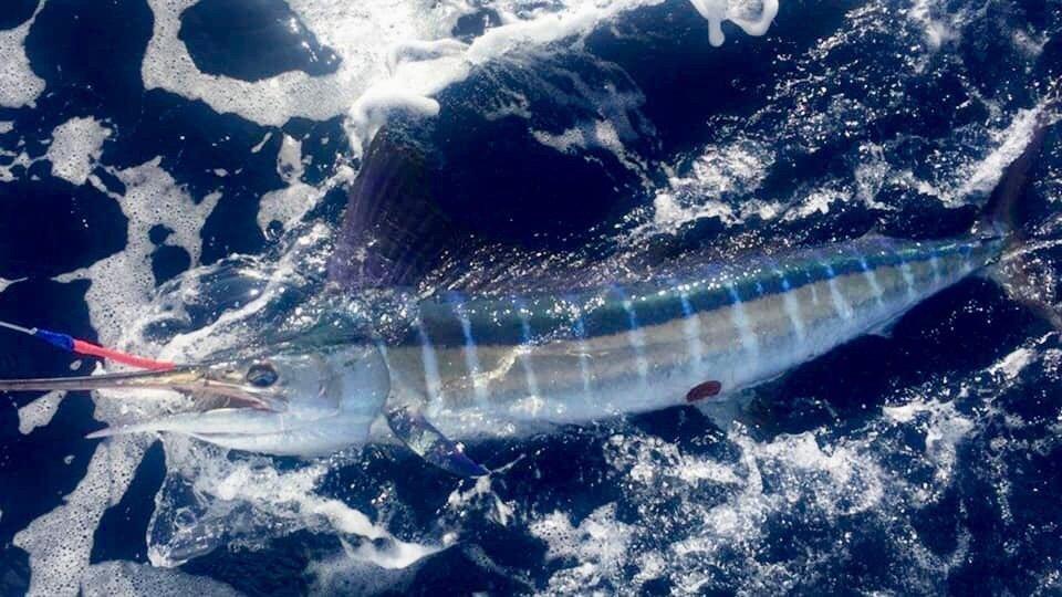 Fishing Kona Hawaii strip marlin