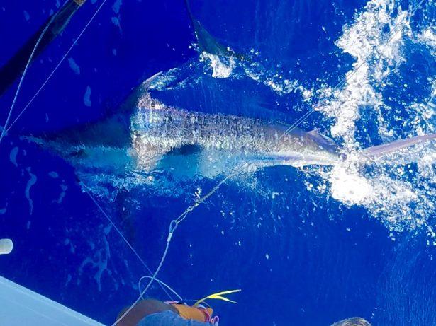 blue marlin kona hawaii