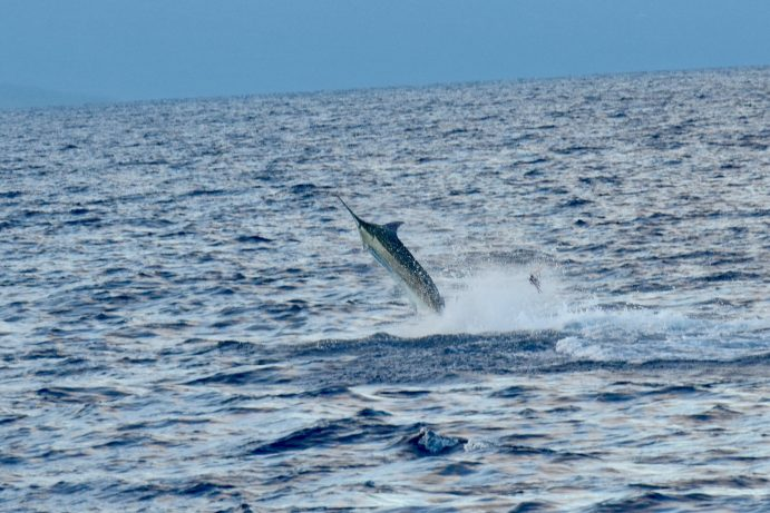 blue marlin fishing kona boat