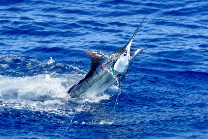 2 Blue Marlin On 4/7/19