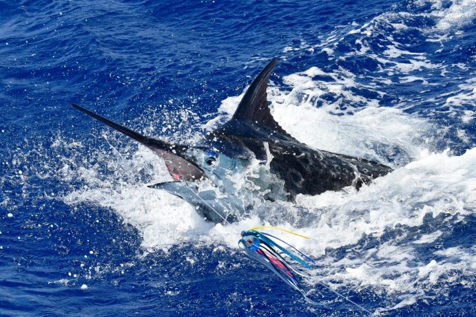 Blue Marlin jumping near the boat.  Head shot of the fish with the lure in its mouth.