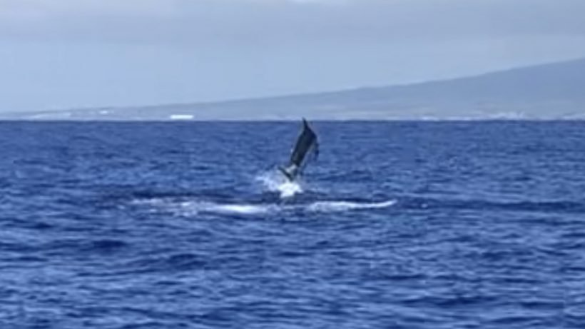 Big marlin jumping