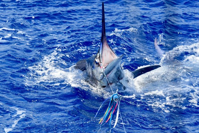 marlin with its head out of the water and mouth wide open.