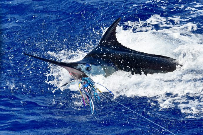 blue marlin with a lure near his mouth jumping