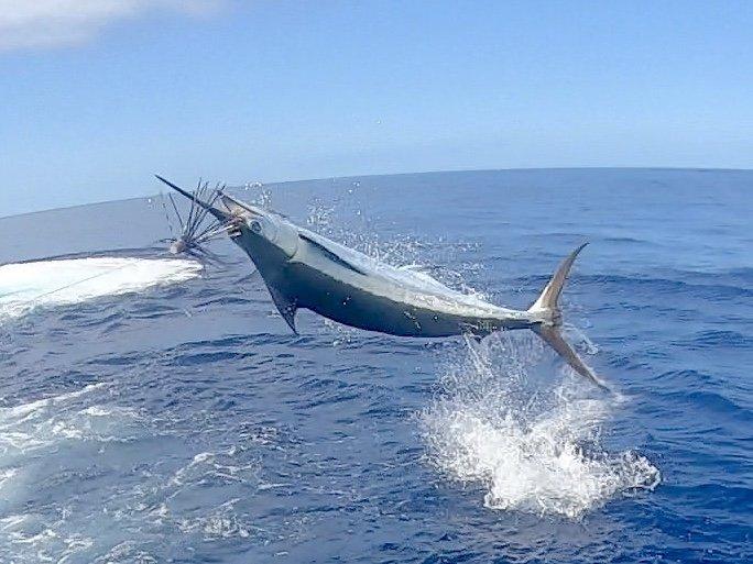 Blue marlin jumping  in kona hawaii
