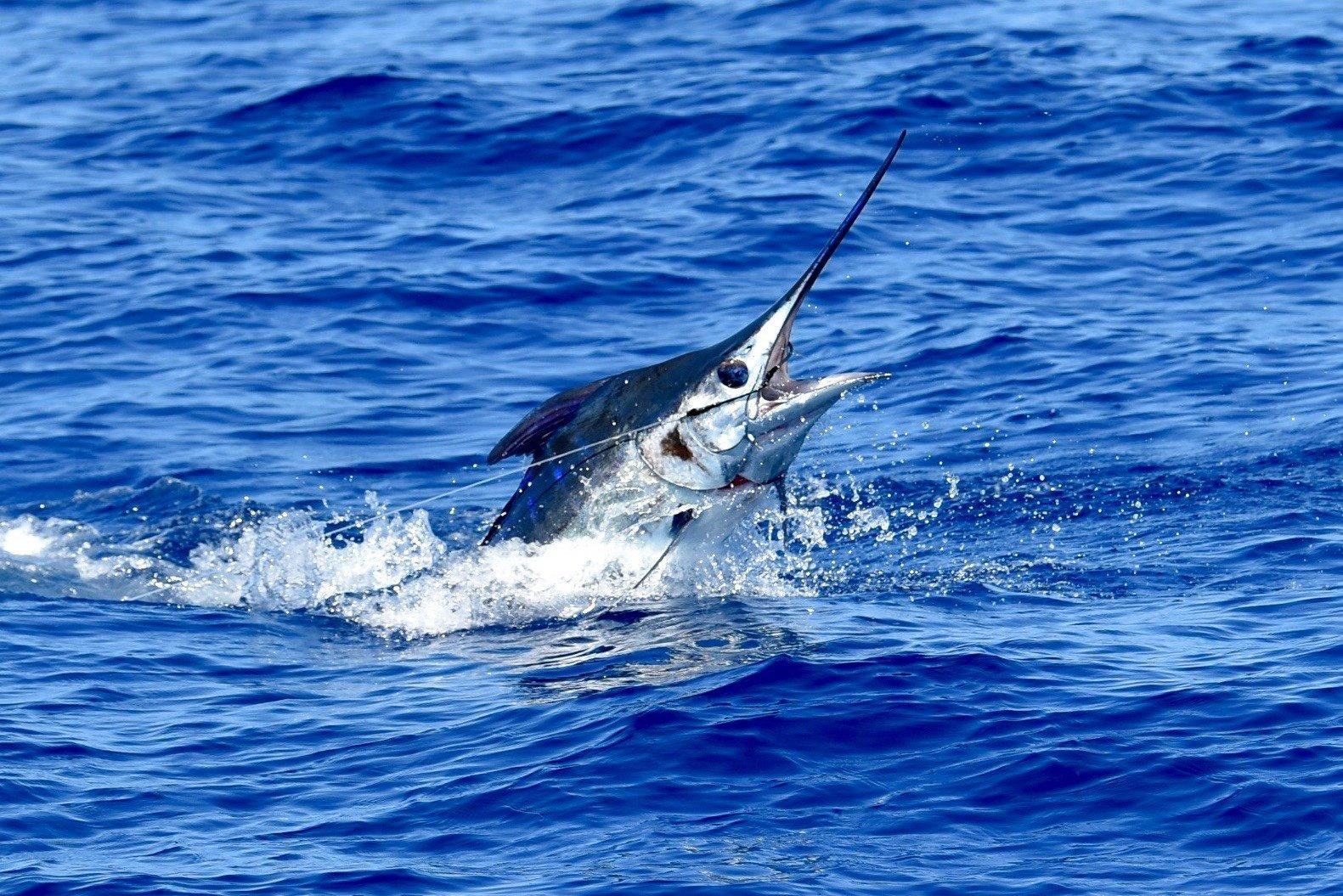 Blue marlin head shot in kona
