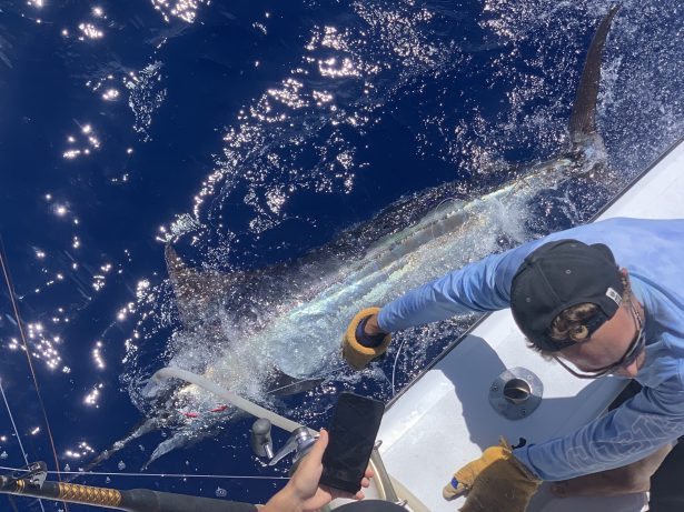 Blue marlin report