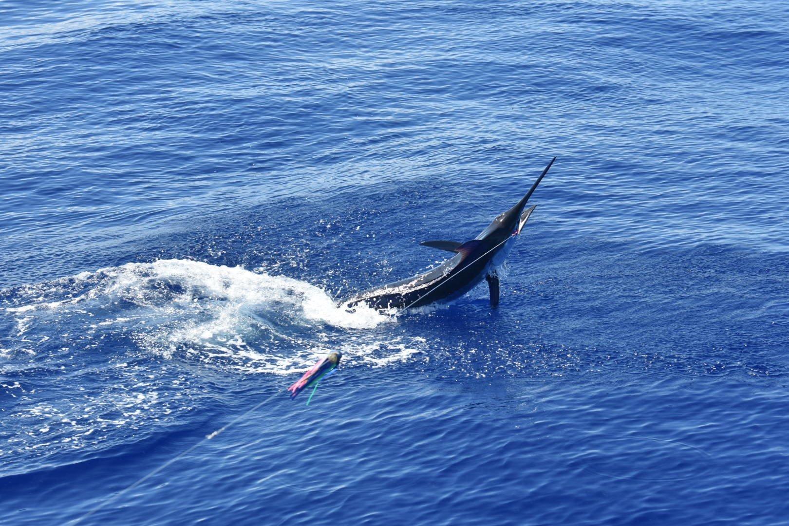 Marlin fishing kona