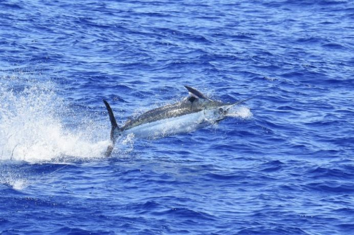 Blue marlin jumping in kona